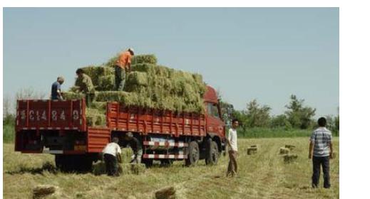 Cỏ linh lăng khô chuyên dùng cho chăn nuôi