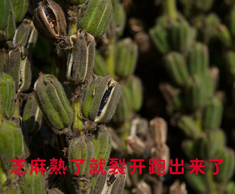 NLSX dầu thực vật Shandong 80 farm grown black sesame without dyeing pure natural grains and oilseed