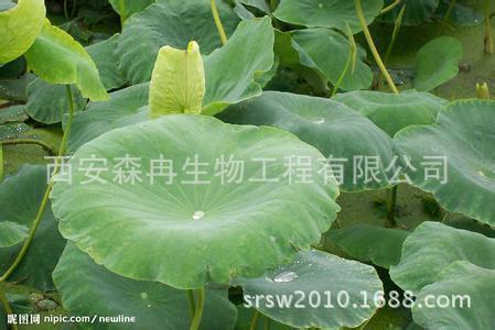 Nguyên liệu sản xuất mỹ phẩm Các nhà sản xuất chuyên sản xuất sen chiết từ lá 2% nuciferine