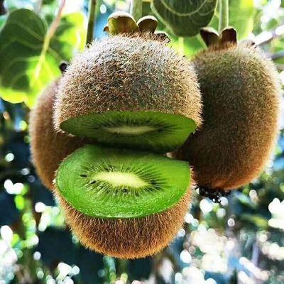 Cây giống Kiwi trái vàng chất lượng, quả ngon ngọt