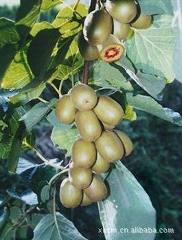 Cây giống quả Kiwi Hongyang chất lượng