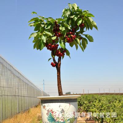 Cây táo trồng trong chậu, giống tốt cho trái to, căng bóng