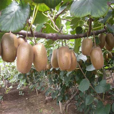 Hạt giống, cây kiwi giống tốt cho nhiều trái