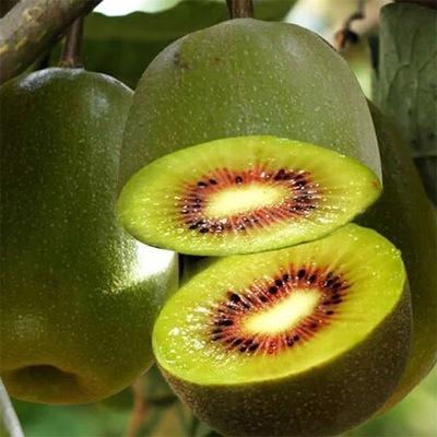 Cây giống Kiwi chất lượng tốt cho trái to, tròn, chắc khỏe
