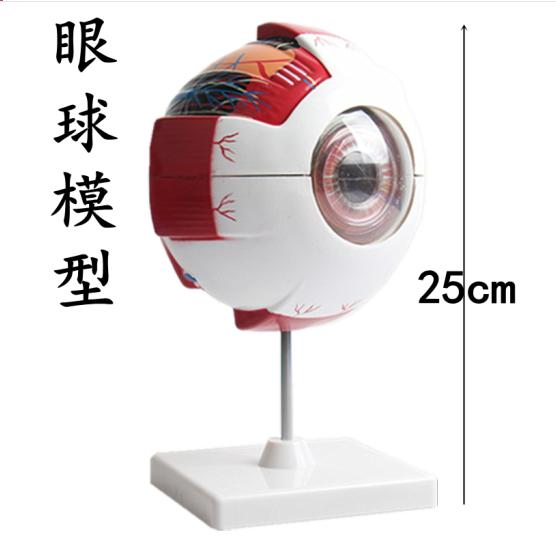 Mô hình cấu trúc mắt vào mắt mô hình cấu tạo thiết bị y tế thiết bị dạy học sinh dạy demo