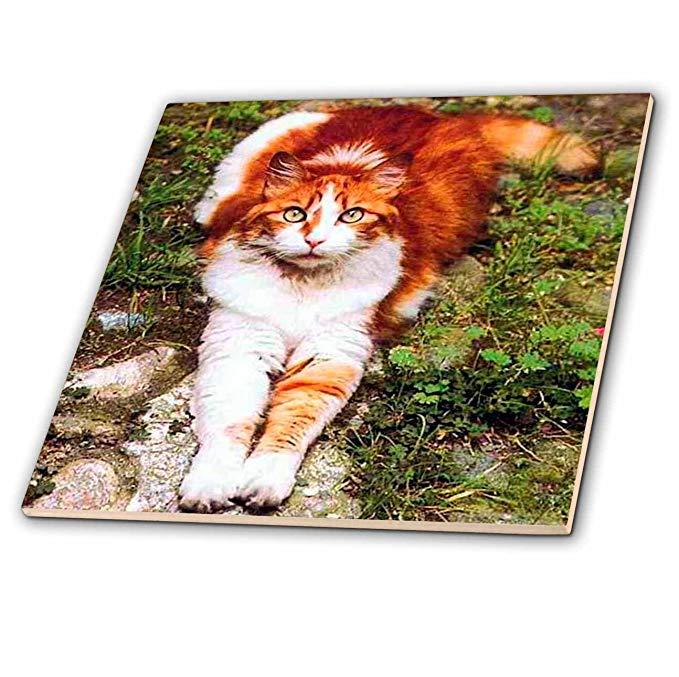 Mèo - mèo màu cam - gạch