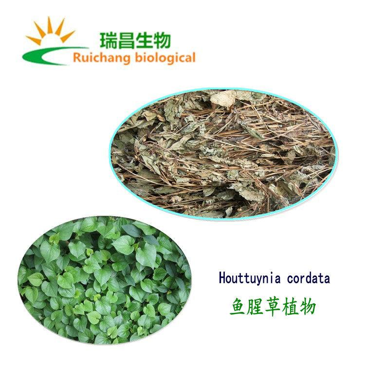 Houttuynia cordata chiết xuất vận chuyển nước hòa tan bột houttuynia
