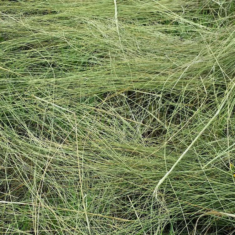 Thức ăn cho bò Nguồn cung cấp lớn Cỏ ba lá chinensis Cỏ kiềm Độ ẩm thấp Thức ăn giàu protein Hạt cỏ