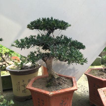 Chậu Cây thông cảnh bonsai mini trang trí khu vườn .