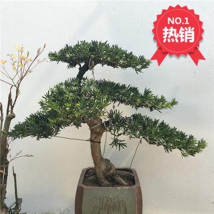 Cảnh quan Mini Cây thông Lohan gốc cây thông